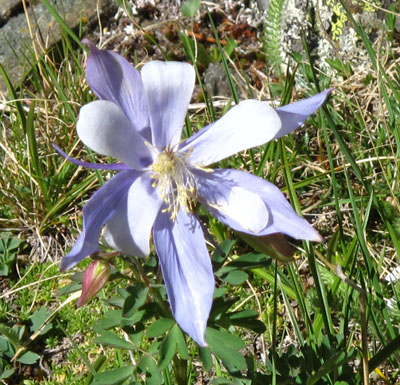 Picture of a Columbine blossom